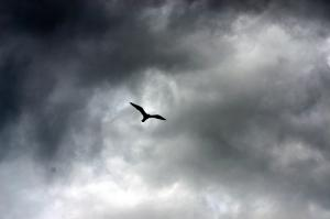 Bird In Flight Cloudy Sky