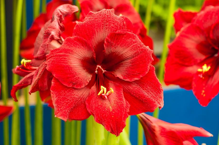 Red Bloom Flowers