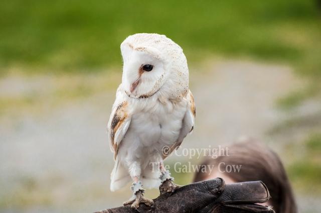 owl sligo.jpg
