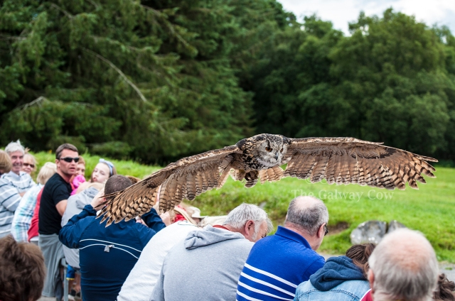 Owls in Sligo