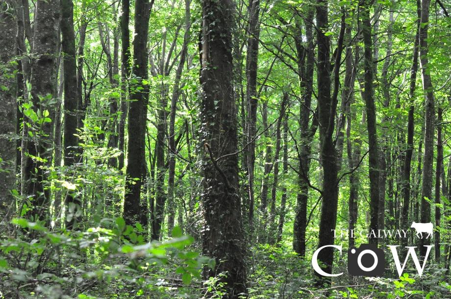 Clarenbridge Woods.jpg